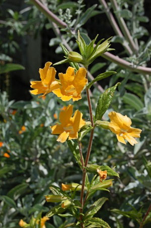 Sticky Monkeyflower  (Mimulus Bifidus)