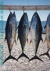 3 fish, tuna, hanging on a line